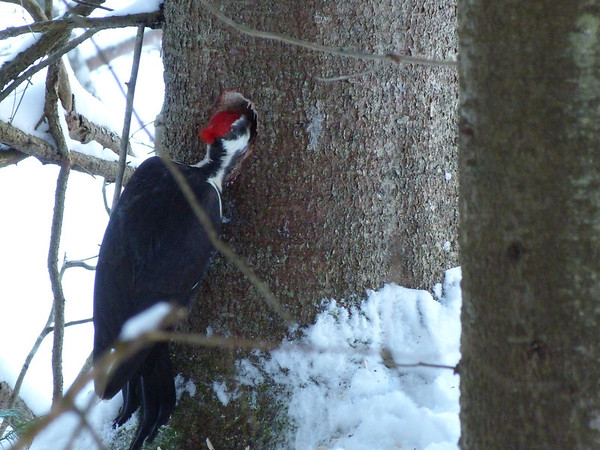 Pileated Woodpecker Photo by Andrea Chappell