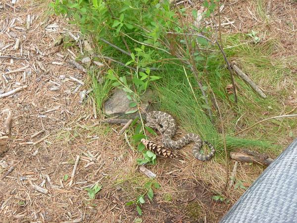 D3 rattlesnake